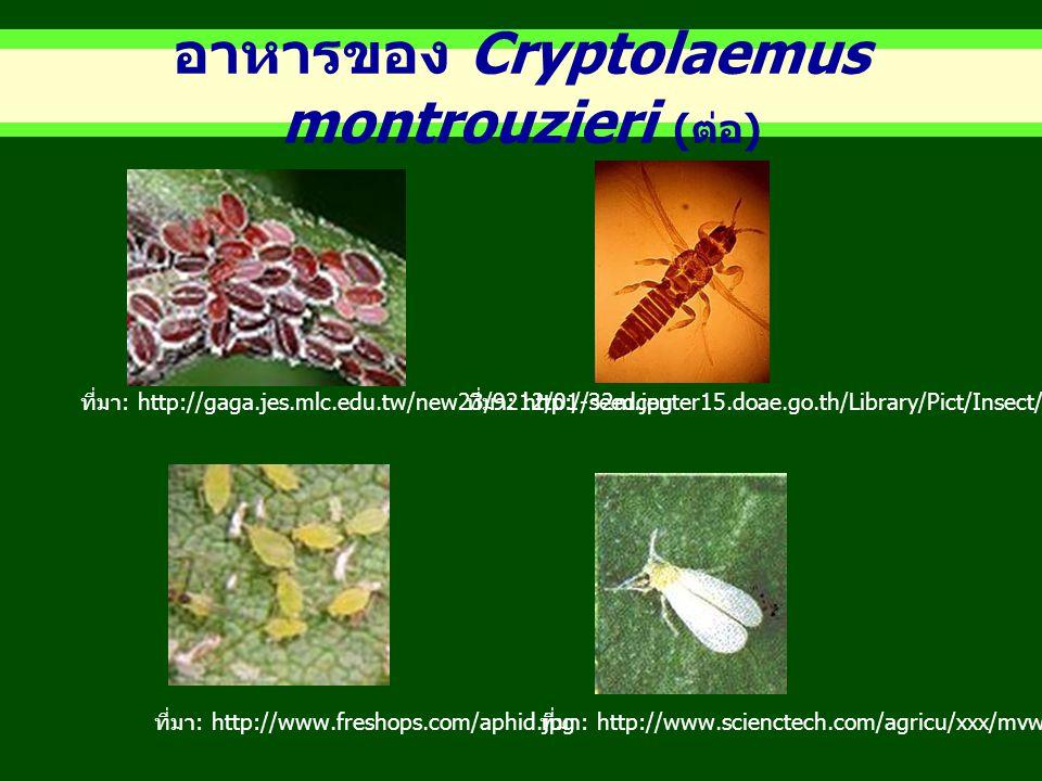 อาหารของ Cryptolaemus montrouzieri (ต่อ)