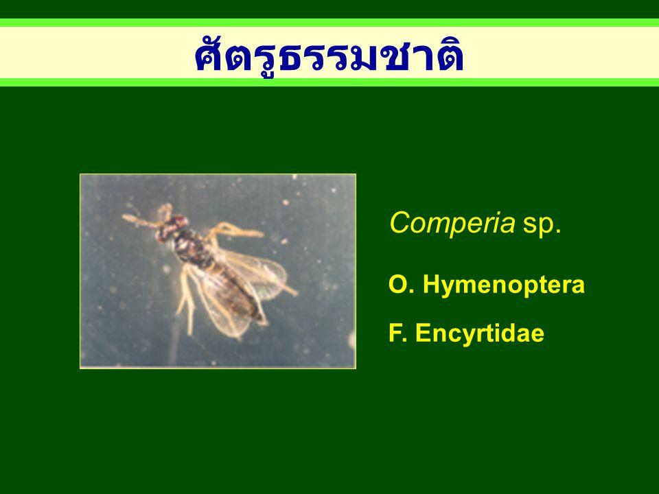 ศัตรูธรรมชาติ Comperia sp. O. Hymenoptera F. Encyrtidae