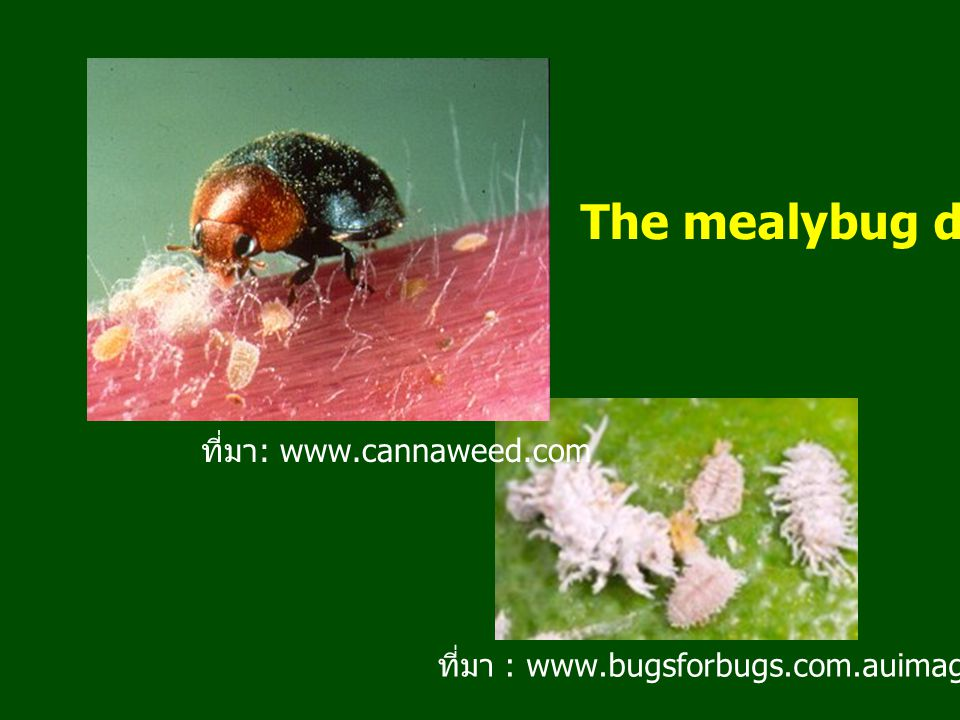 The mealybug destroyer