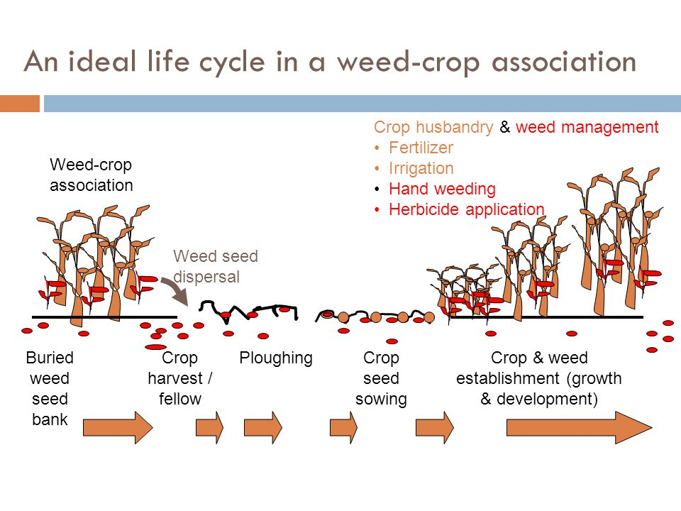 An ideal life cycle in a weed-crop association