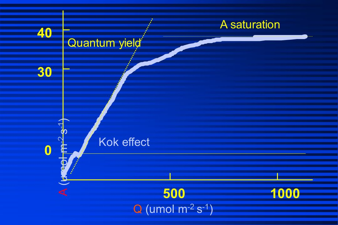 40 30 500 1000 A saturation Quantum yield A (umol m-2 s-1) Kok effect