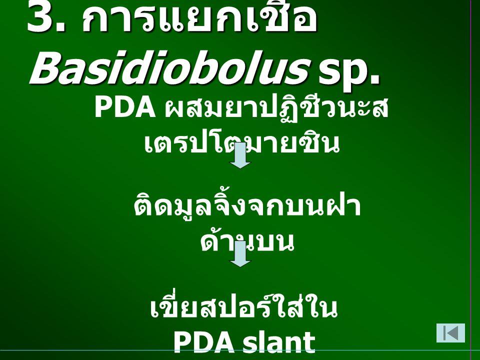 3. การแยกเชื้อ Basidiobolus sp.