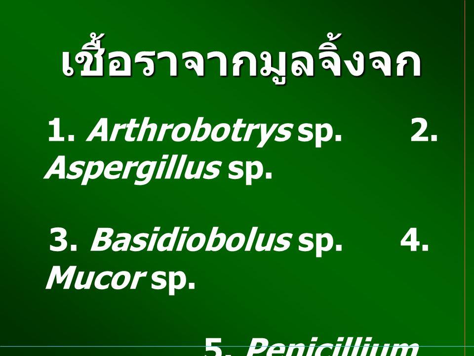 เชื้อราจากมูลจิ้งจก 3. Basidiobolus sp. 4. Mucor sp.