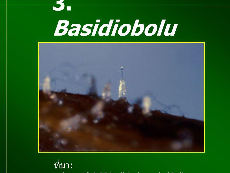 3. Basidiobolus sp. ที่มา: http://lsb380.plbio.lsu.edu/Gallery/pyx.jpg