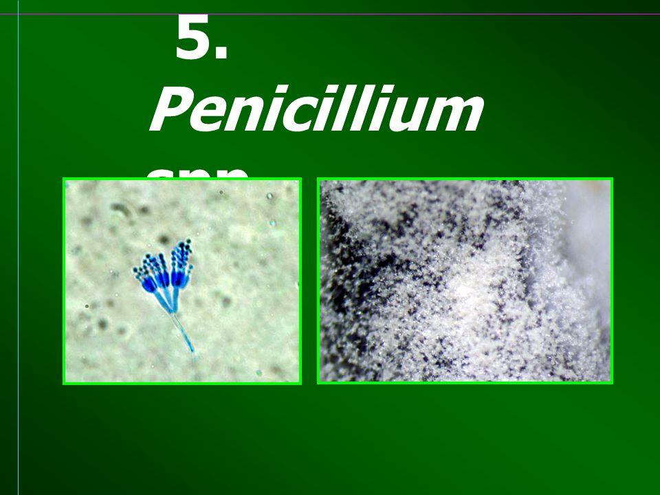 5. Penicillium spp.