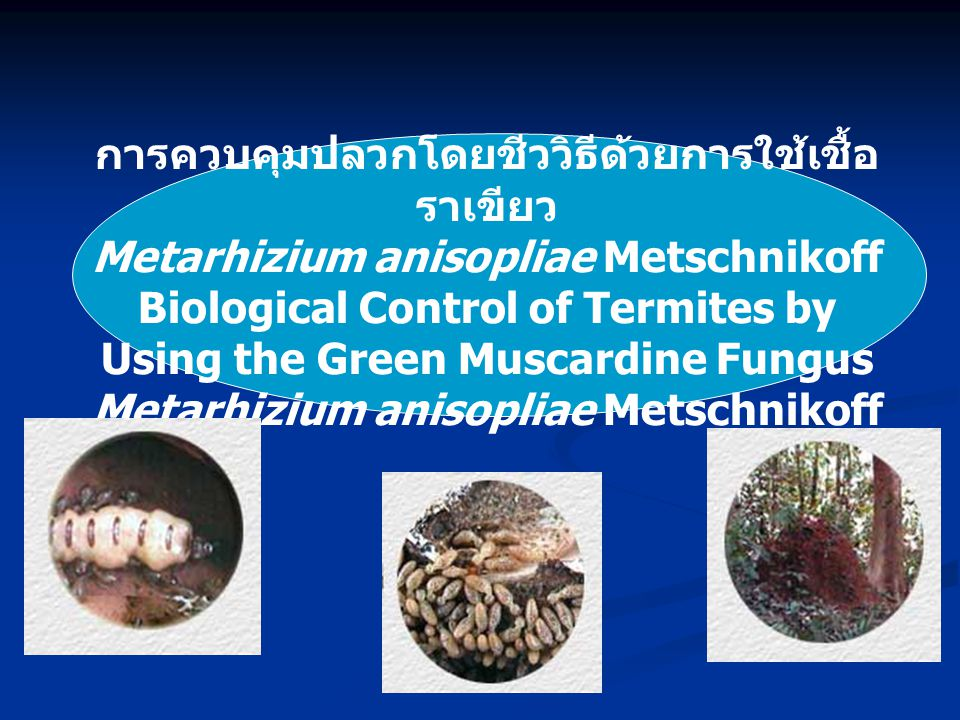 การควบคุมปลวกโดยชีววิธีด้วยการใช้เชื้อราเขียว Metarhizium anisopliae Metschnikoff Biological Control of Termites by Using the Green Muscardine Fungus Metarhizium anisopliae Metschnikoff