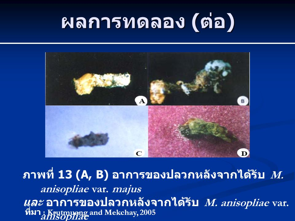 ผลการทดลอง (ต่อ) ภาพที่ 13 (A, B) อาการของปลวกหลังจากได้รับ M. anisopliae var. majus. และ อาการของปลวกหลังจากได้รับ M. anisopliae var. anisopliae.