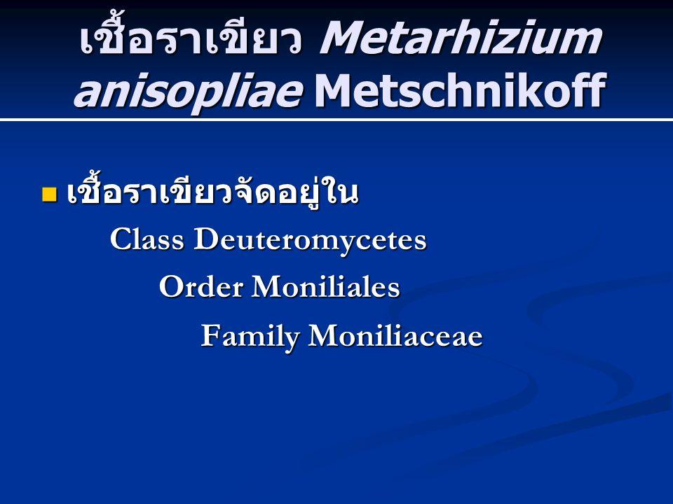 เชื้อราเขียว Metarhizium anisopliae Metschnikoff