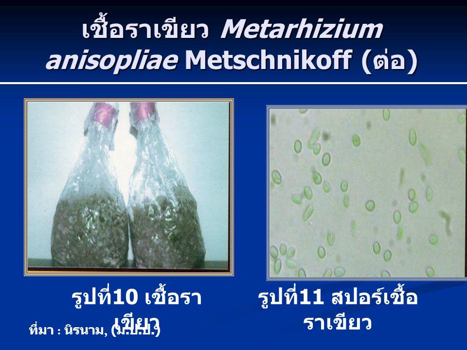 เชื้อราเขียว Metarhizium anisopliae Metschnikoff (ต่อ)