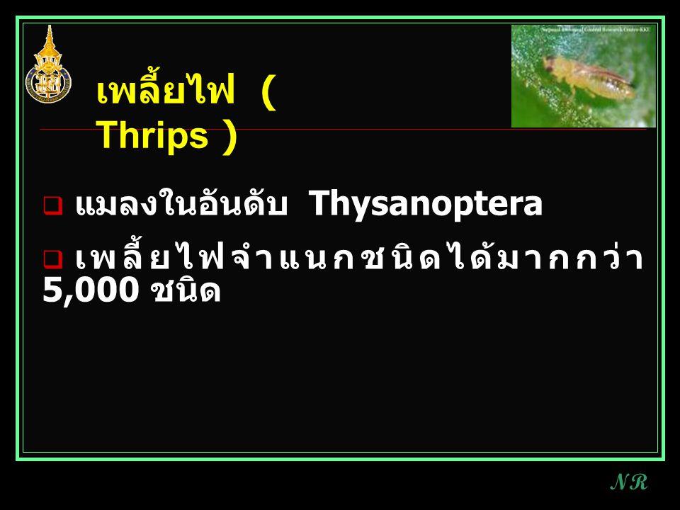 เพลี้ยไฟ ( Thrips ) แมลงในอันดับ Thysanoptera