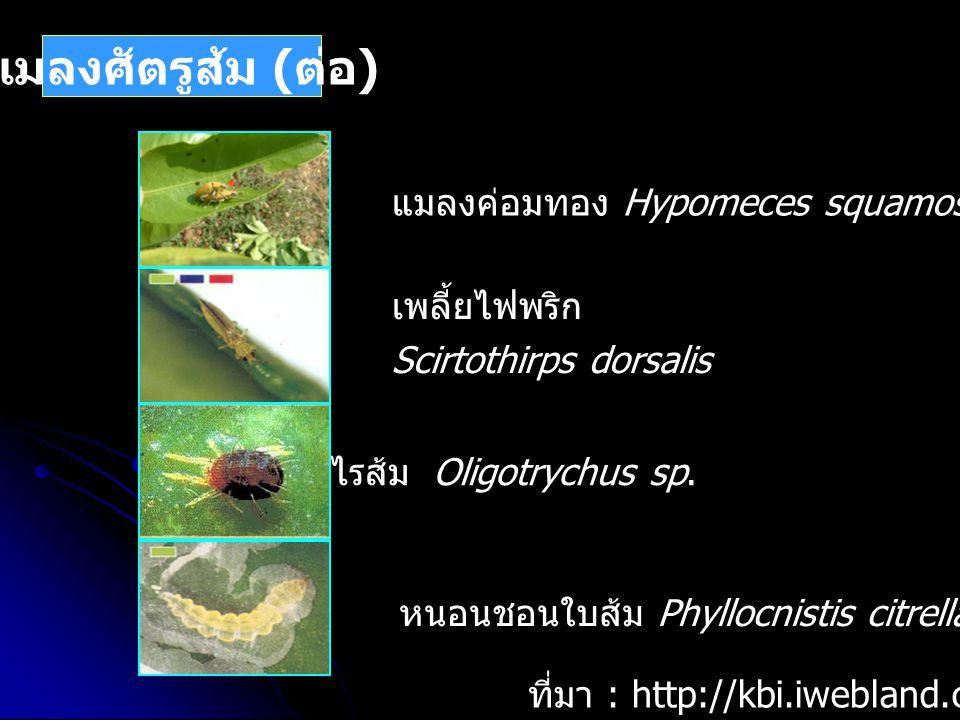 แมลงศัตรูส้ม (ต่อ) แมลงค่อมทอง Hypomeces squamosus