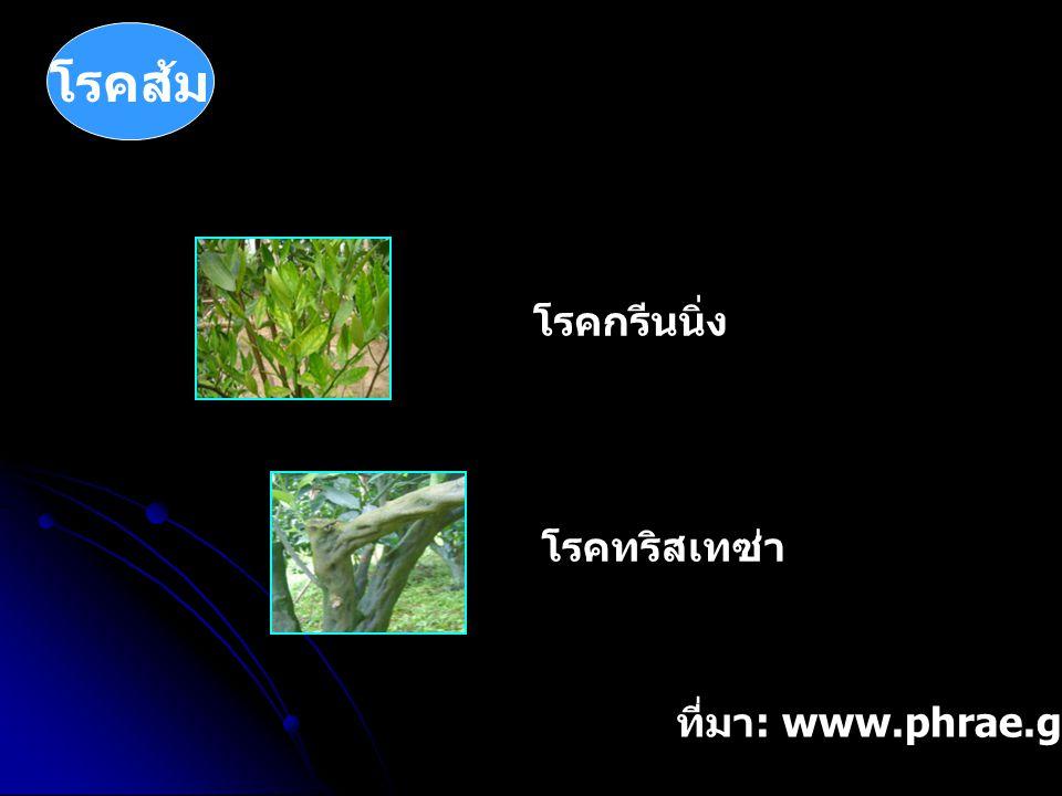 โรคส้ม โรคกรีนนิ่ง โรคทริสเทซ่า ที่มา: www.phrae.go.th/orange