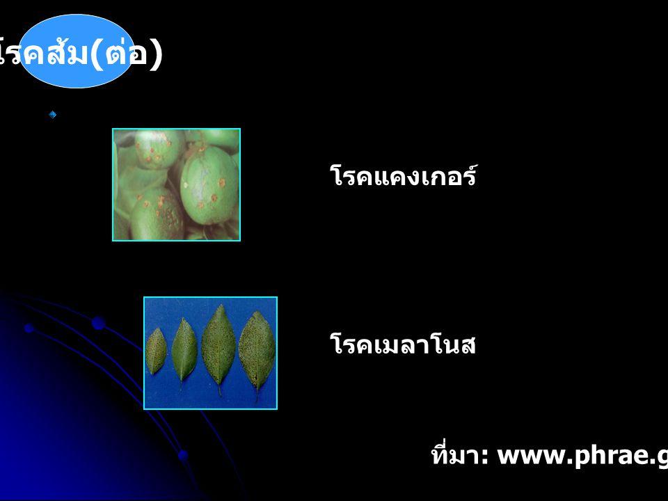 โรคส้ม(ต่อ) โรคแคงเกอร์ โรคเมลาโนส ที่มา: www.phrae.go.th/orange