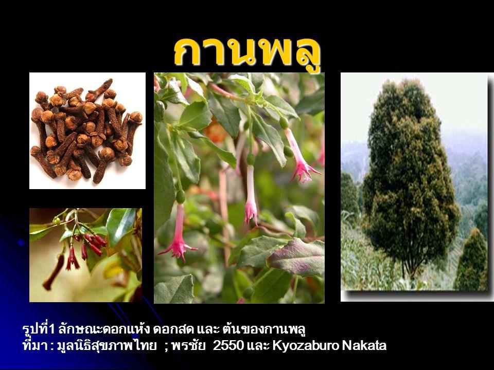 กานพลู รูปที่1 ลักษณะดอกแห้ง ดอกสด และ ต้นของกานพลู