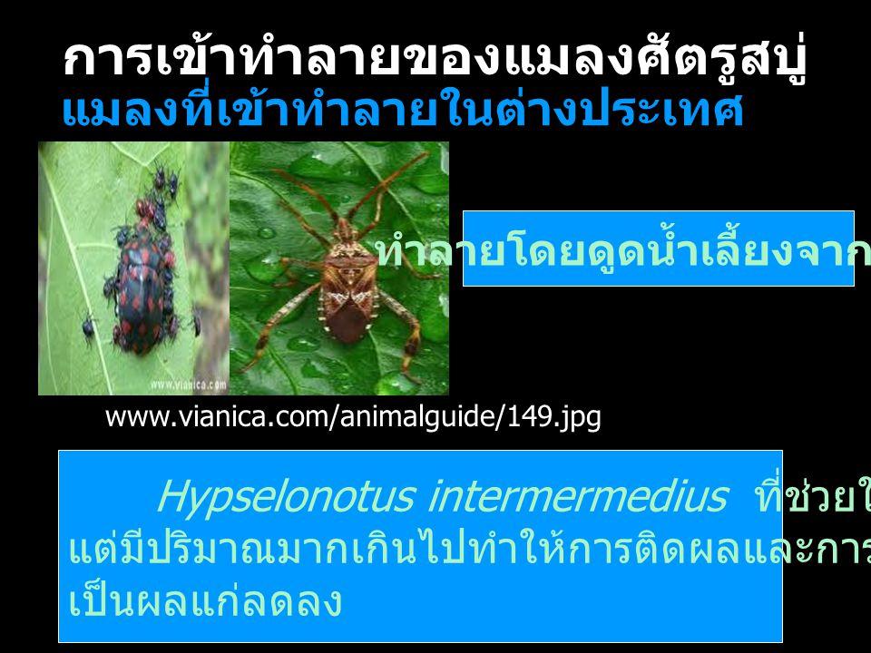 การเข้าทำลายของแมลงศัตรูสบู่