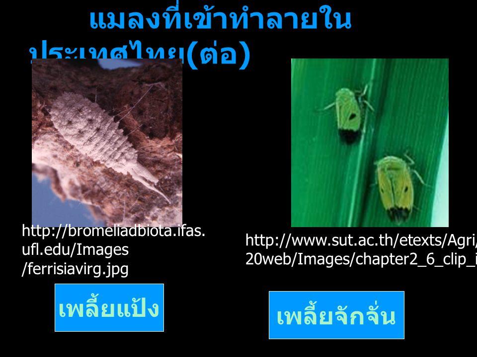 แมลงที่เข้าทำลายในประเทศไทย(ต่อ)