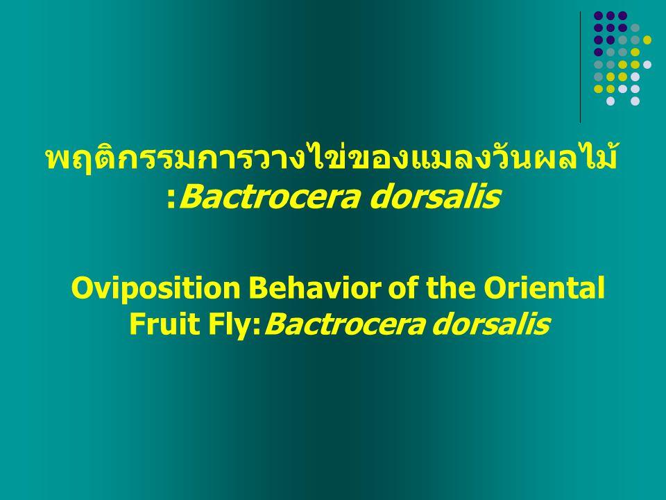พฤติกรรมการวางไข่ของแมลงวันผลไม้ :Bactrocera dorsalis