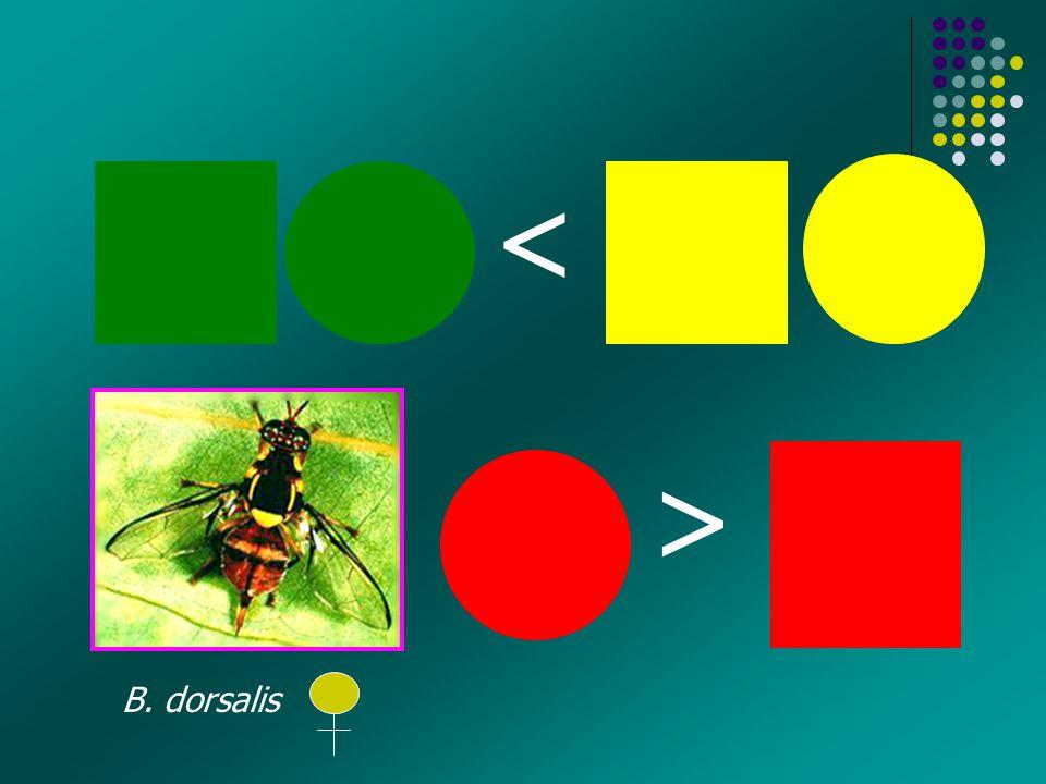 < < B. dorsalis
