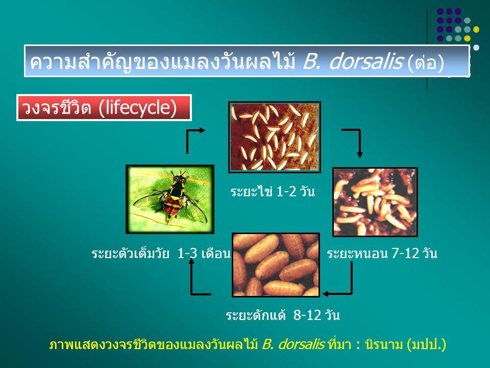 ความสำคัญของแมลงวันผลไม้ B. dorsalis (ต่อ)