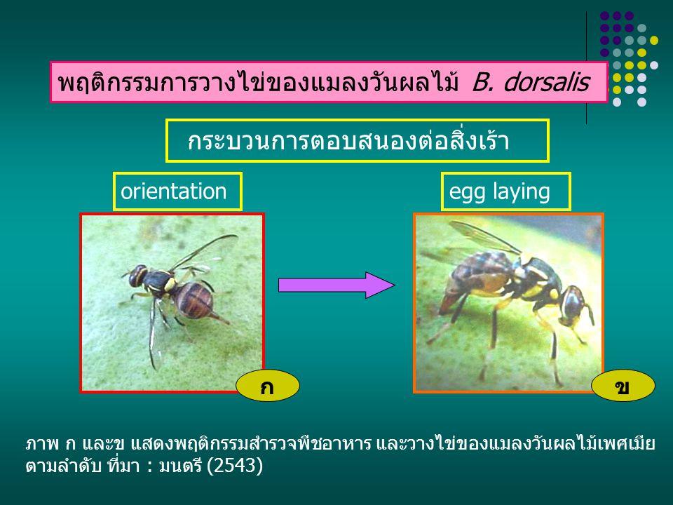 พฤติกรรมการวางไข่ของแมลงวันผลไม้ B. dorsalis