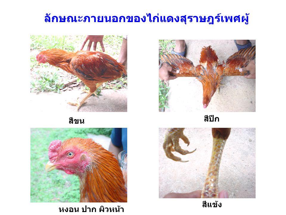 ลักษณะภายนอกของไก่แดงสุราษฎร์เพศผู้