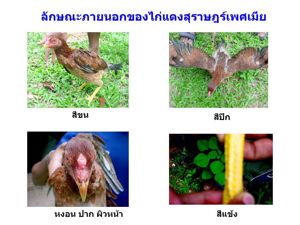 ลักษณะภายนอกของไก่แดงสุราษฎร์เพศเมีย