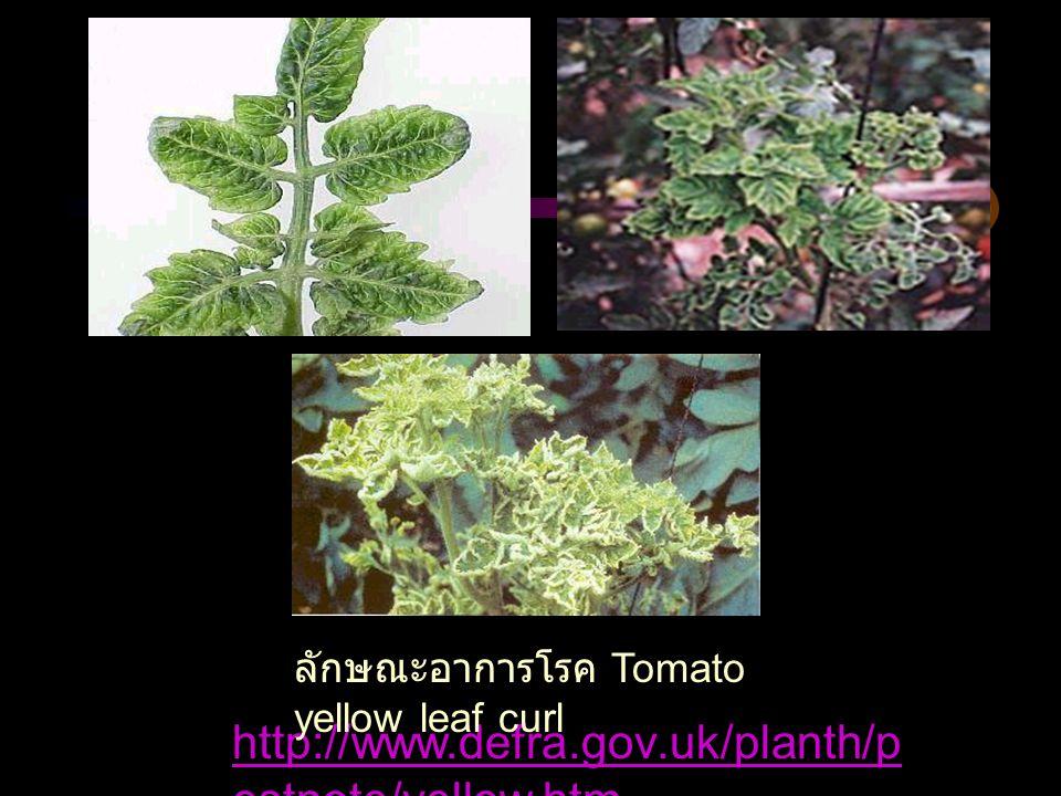 ลักษณะอาการโรค Tomato yellow leaf curl