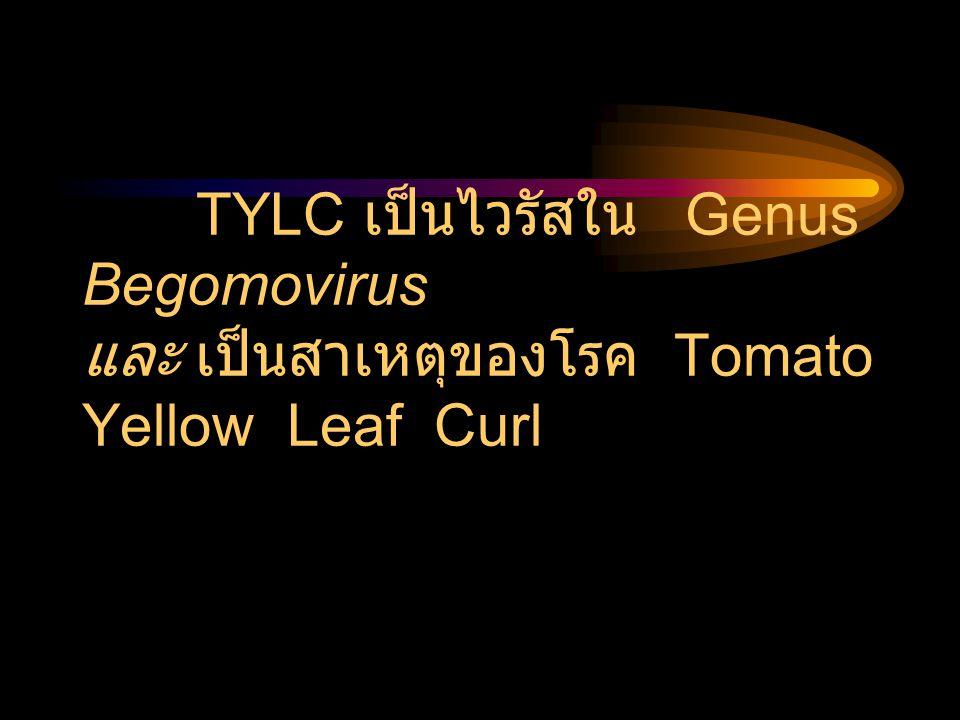 TYLC เป็นไวรัสใน Genus Begomovirus และ เป็นสาเหตุของโรค Tomato Yellow Leaf Curl