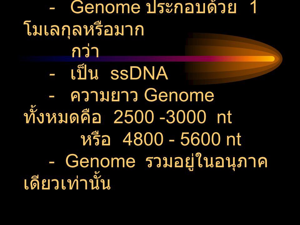 Nucleic acid (Genome) - Genome ประกอบด้วย 1โมเลกุลหรือมาก กว่า - เป็น ssDNA - ความยาว Genome ทั้งหมดคือ 2500 -3000 nt หรือ 4800 - 5600 nt - Genome รวมอยู่ในอนุภาคเดียวเท่านั้น