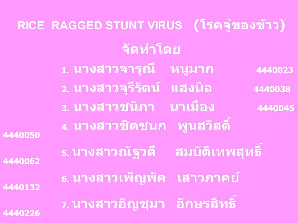 RICE RAGGED STUNT VIRUS (โรคจู๋ของข้าว)