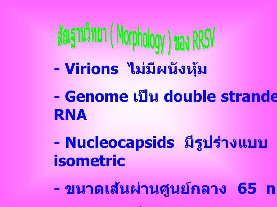 สัณฐานวิทยา ( Morphology ) ของ RRSV