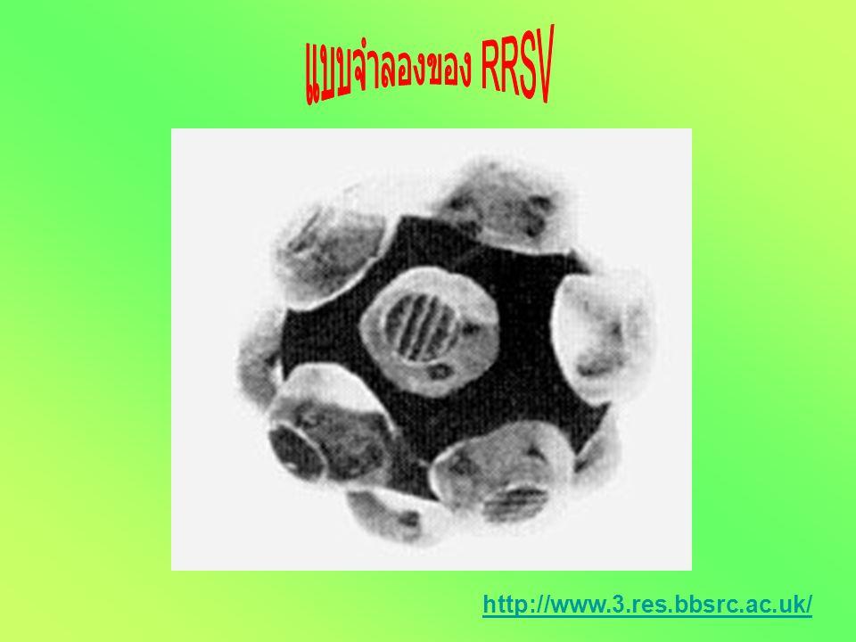 แบบจำลองของ RRSV http://www.3.res.bbsrc.ac.uk/