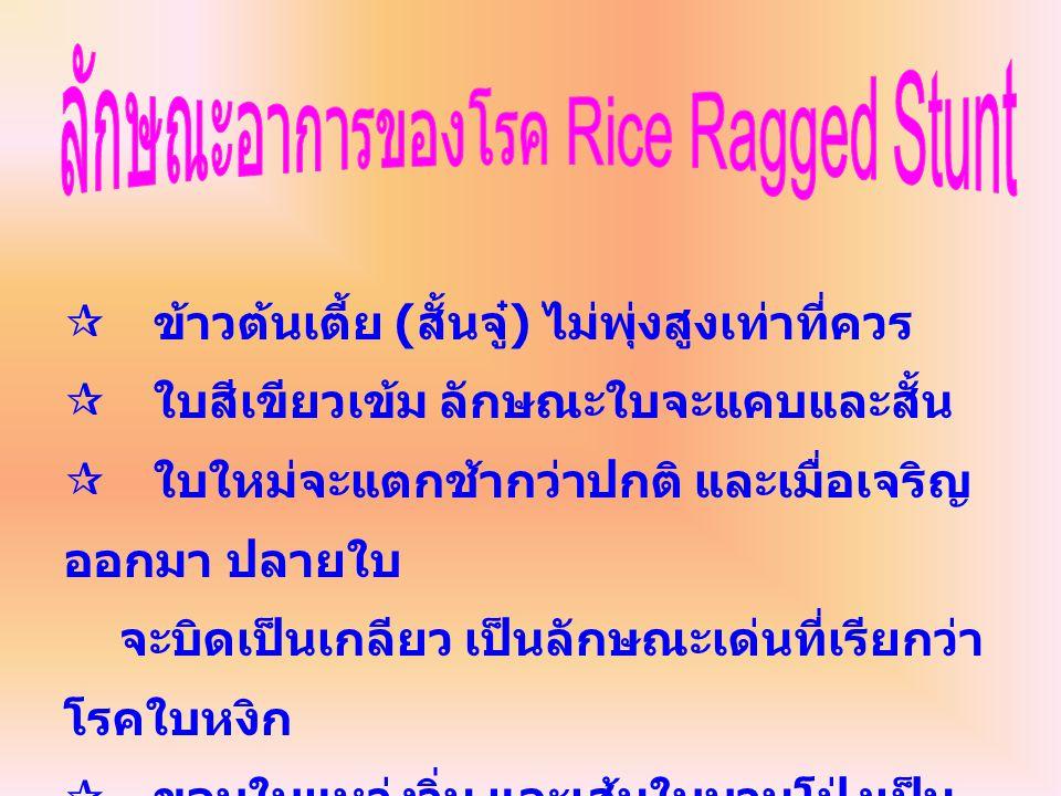 ลักษณะอาการของโรค Rice Ragged Stunt