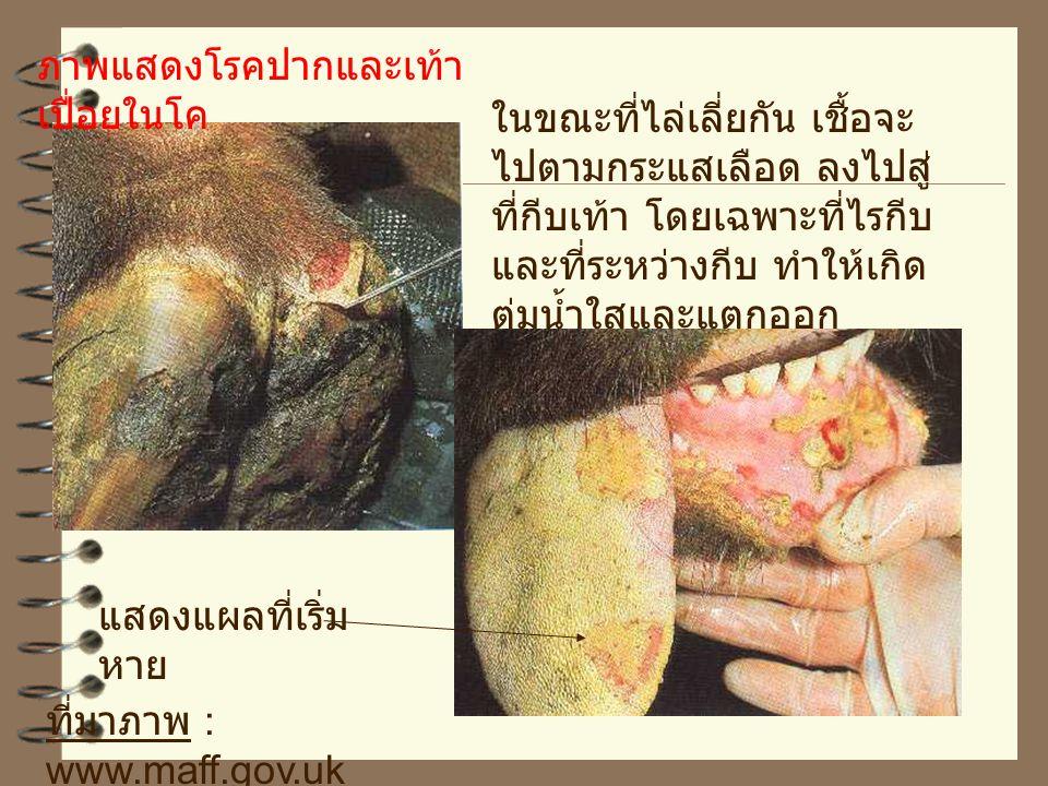 ภาพแสดงโรคปากและเท้าเปื่อยในโค