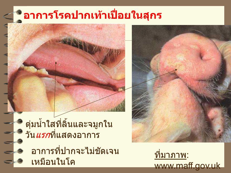 อาการโรคปากเท้าเปื่อยในสุกร