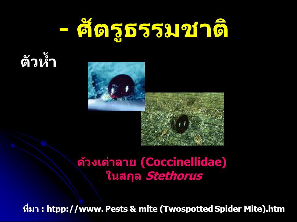 ด้วงเต่าลาย (Coccinellidae)