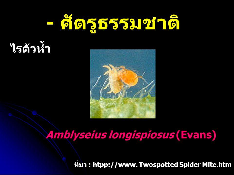 - ศัตรูธรรมชาติ ไรตัวห้ำ Amblyseius longispiosus (Evans)