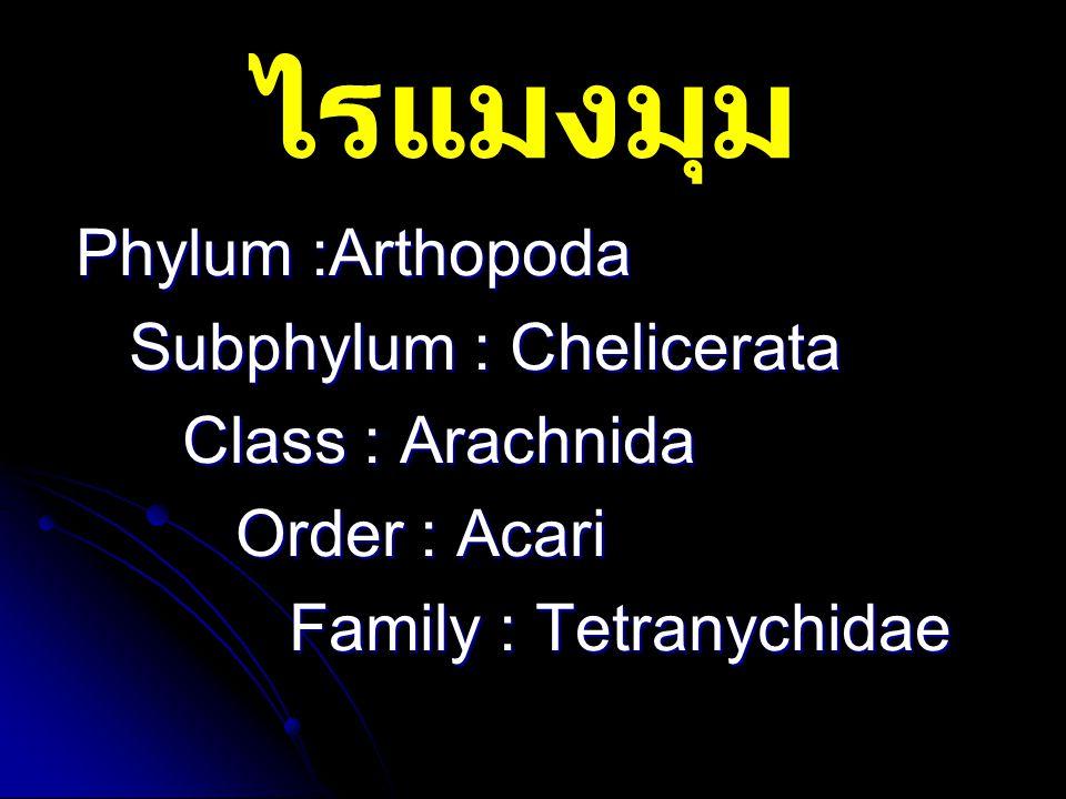 ไรแมงมุม Phylum :Arthopoda Subphylum : Chelicerata Class : Arachnida