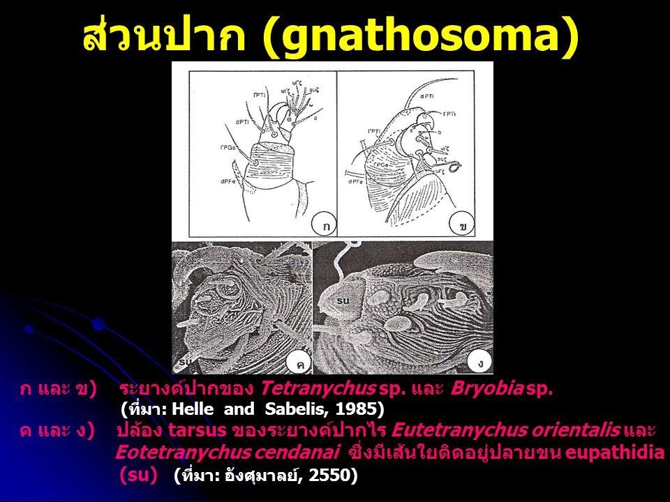 ส่วนปาก (gnathosoma) ก และ ข) ระยางค์ปากของ Tetranychus sp. และ Bryobia sp. (ที่มา: Helle and Sabelis, 1985)