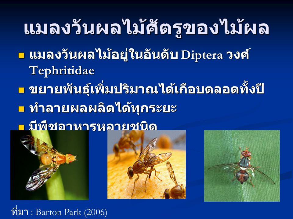 แมลงวันผลไม้ศัตรูของไม้ผล