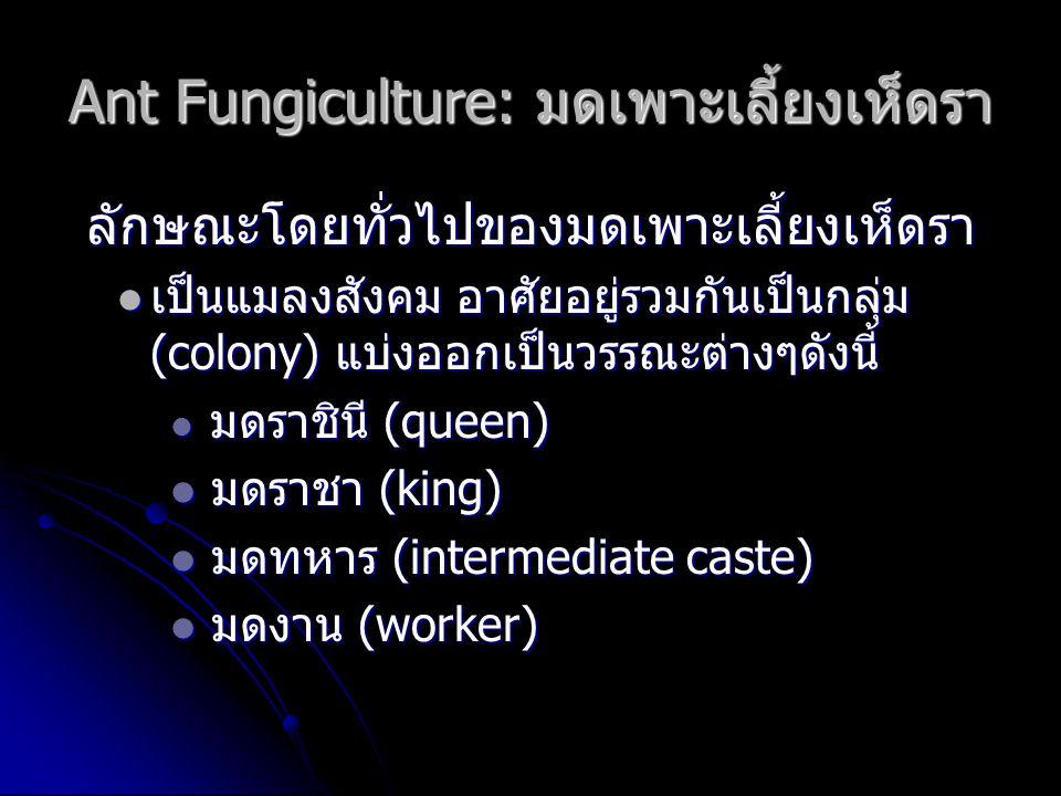 Ant Fungiculture: มดเพาะเลี้ยงเห็ดรา