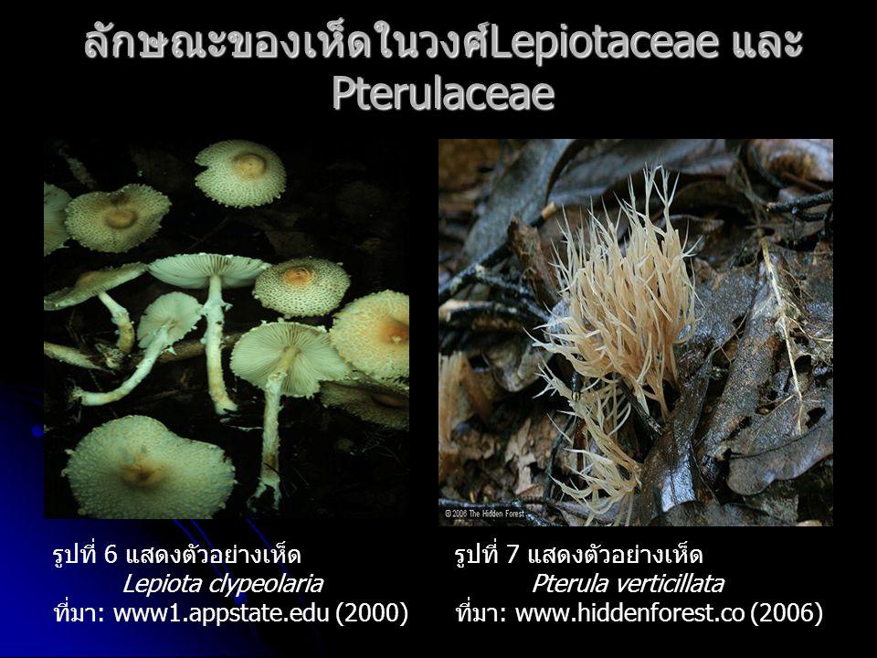 ลักษณะของเห็ดในวงศ์Lepiotaceae และPterulaceae