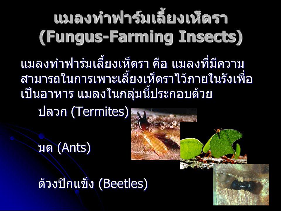 แมลงทำฟาร์มเลี้ยงเห็ดรา (Fungus-Farming Insects)