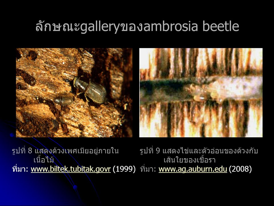ลักษณะgalleryของambrosia beetle