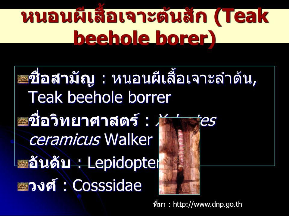 หนอนผีเสื้อเจาะต้นสัก (Teak beehole borer)