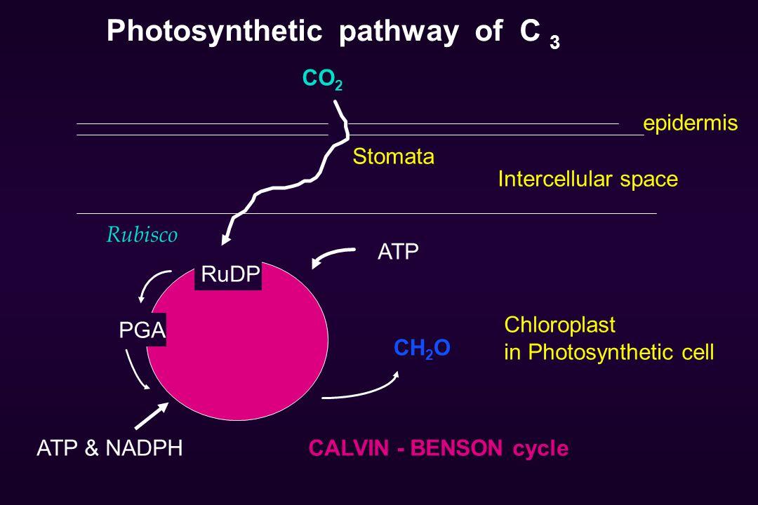 Photosynthetic pathway of C 3