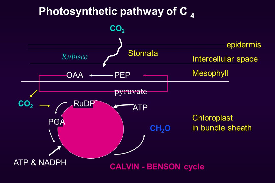 Photosynthetic pathway of C 4