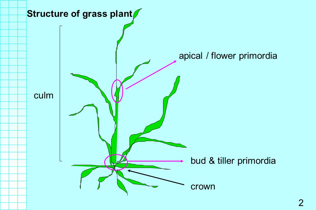 Structure of grass plant