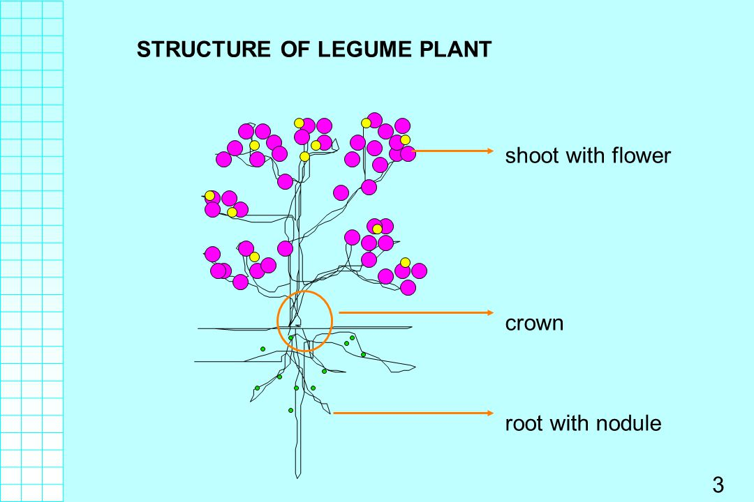 STRUCTURE OF LEGUME PLANT
