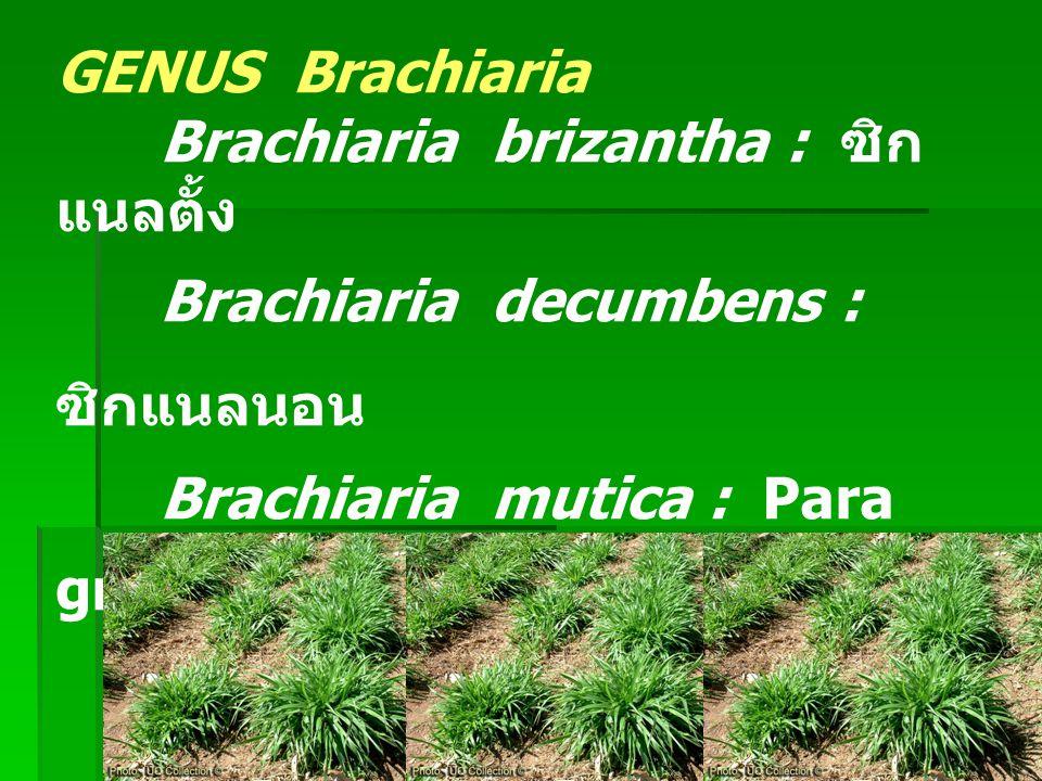 GENUS Brachiaria Brachiaria brizantha : ซิกแนลตั้ง. Brachiaria decumbens : ซิกแนลนอน. Brachiaria mutica : Para grass, Mauritius, หญ้าขน.